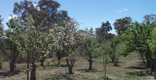 Weston Creek Orchard