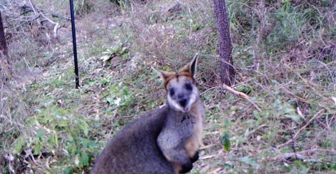 Wildlife Monitoring at Tuggeranong Hill and Cooleman Ridge